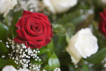 Rosa rossa e rosa bianca