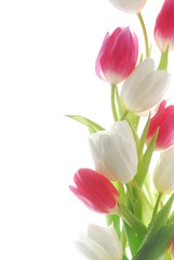 red and white tulip flowers