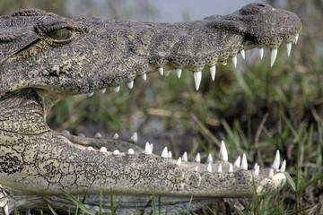 Poster Crocodile krokodil