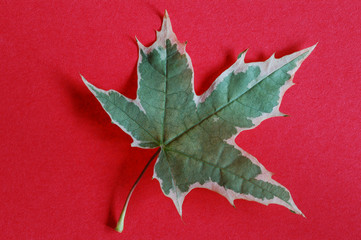 close-up of one green maple leaf on red
