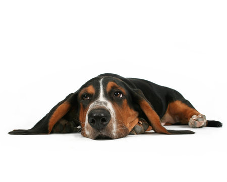 a bassett hound lying down on a white background