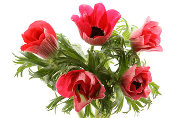 red anemones isolated on white background