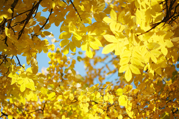 Wall Mural - Yellow autumn leaves on tree over blue sky.