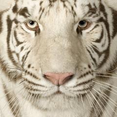 Fotobehang Tijger White Tiger (3 years)