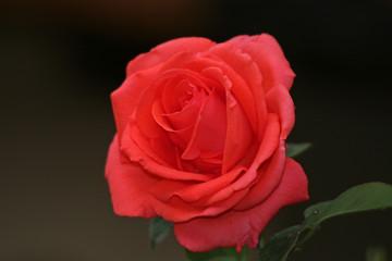 Detailansicht einer schönen roten Rose