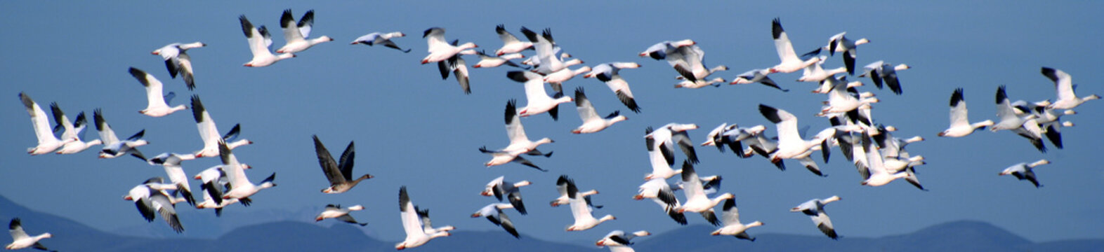A Flock of Snow Geese Over the Mountains