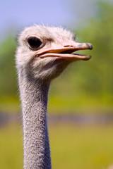 Ostrich close up