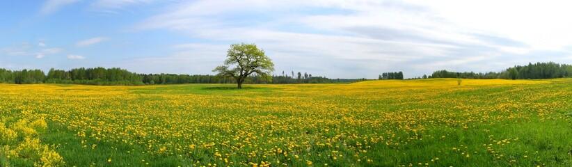 Panorama of dandelion field