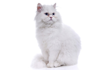 Photo Blinds Cat White cat with blue eyes. On a white background