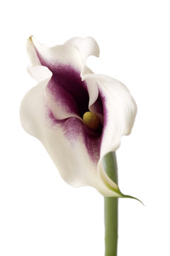 Beautiful white calla lilly in closeup on white background