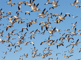 Snow geese migrating north for the Summer