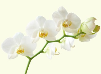 bunch of white and yellow orchid flowers