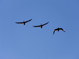 Three migrating snow geese flying to the north