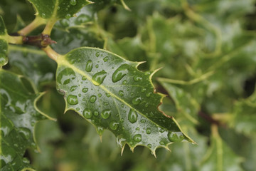 Holly Leaf with RainDrops