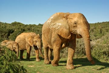 african elephants family walking through bushveld