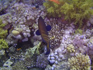 Merou tacheté sur lit de corail