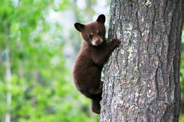 An American black bear cub clings to the side of the tree