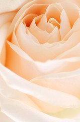 Delicate high key beige rose macro floral background