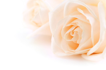 Floral background of two delicate high key beige roses