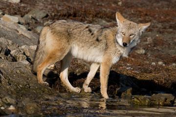 Coyote at the Lake