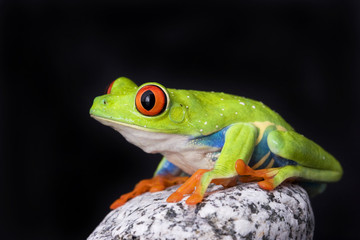 frog macro - a red-eyed tree frog isolated on stones