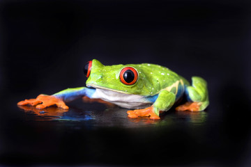 frog macro - a red-eyed tree frog isolated on black