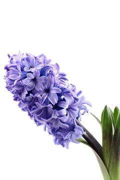 purple hyacinth isolated on white - seasonal flower
