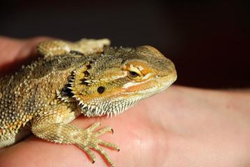 Lizard on a Hand