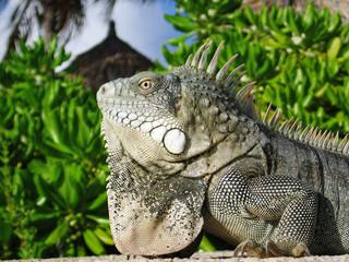 Iguana Close-up in the Caribbean