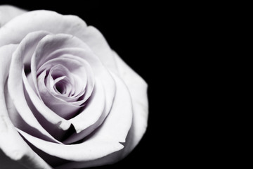 White Purple Rose Isolated on Black Background