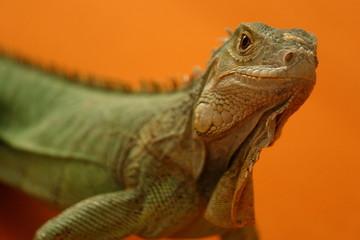 Leguan orange 5