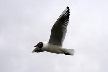 A gull in the air