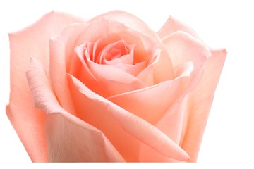 A fresh, pink rose.