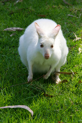 Wall Mural - White Wallaby