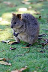 Fototapete - Australian Quokka