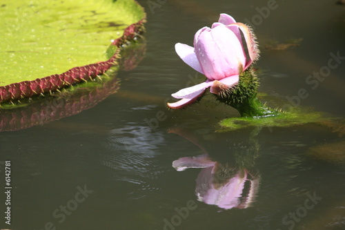Fleur De Nenuphar Geant Ile Maurice Stock Photo And Royalty Free