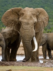 Elephant Bulls grow tusks and this one is an old Bull