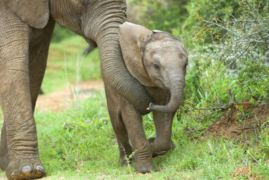 Elephants are good parents and teach their young well