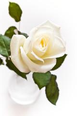 Fotobehang Roses White rose in vase with waterdrops