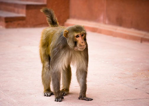 A golden monkey walking in the Red Fort - Agra, India