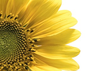 Detail of isolated sunflower