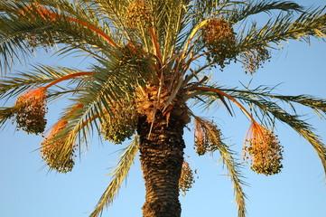palmier et ses dattes