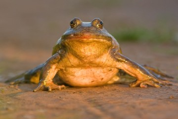 Head On Bullfrog