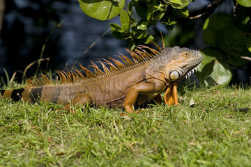 Green Iguana sunning himself for warmth