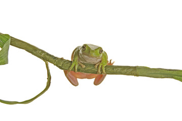 A green tree frog sitting on a branch looking at you