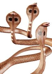 Tanzende Kobra Schlangen