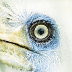 macro on eye of white crown hornbill