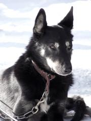 Alaskan sled dog on respite before the race