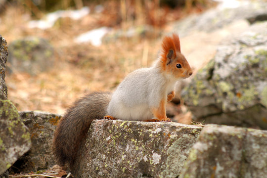 Small redhead very beautiful squirrel sits on stone