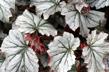 Angel-wing begonia